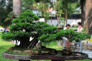 Como cultivar e cuidar de bonsai