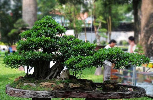 Como cultivar e cuidar de bonsai for Como cultivar bonsais