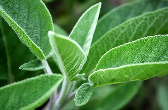 Salvia, uma planta milagrosa para saúde