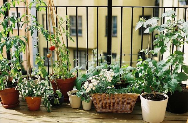 Como cultivar alecrim na varanda da casa