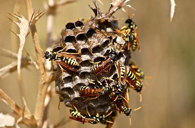 Livrando-se de um ninho de vespas com segurança